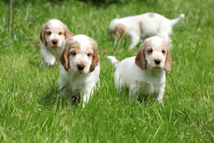 английский кокер спаниель фото щенки