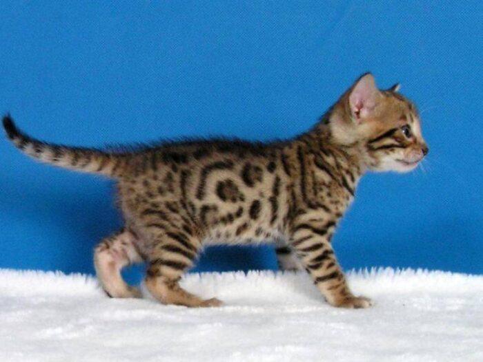 бенгальская леопардовая кошка описание породы