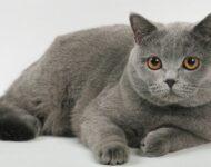 британская короткошерстная кошка описание породы с фото