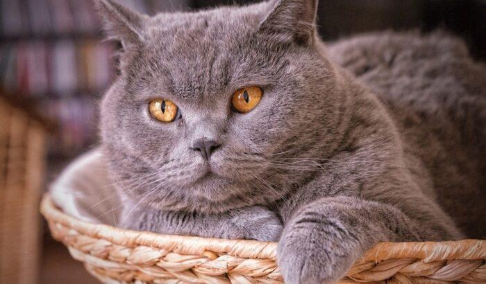 британская короткошерстная кошка характер