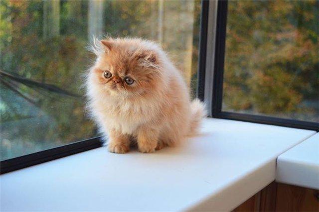 экзотическая длинношерстная кошка фото
