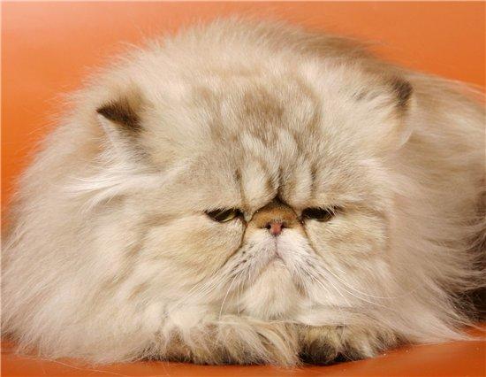 экзотическая длинношерстная кошка содержание и уход