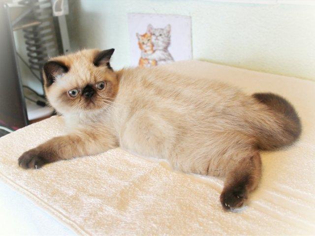 кошка экзот питание и уход
