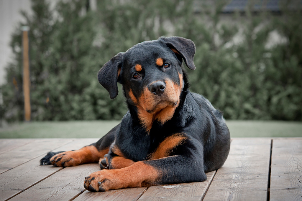 собака ротвейлер картинки