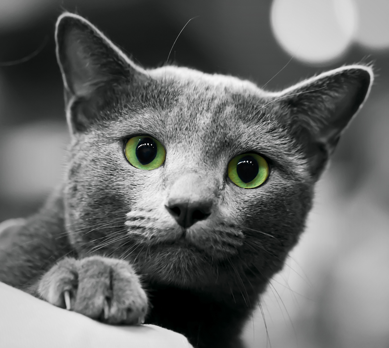 What Does A Russian Blue Cat Look Like