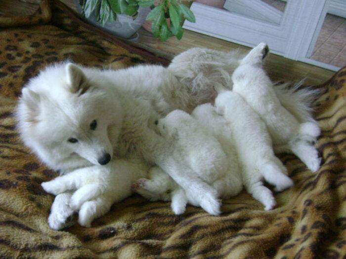 самоедская собака щенки