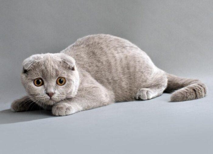 шотландская вислоухая кошка питание и уход