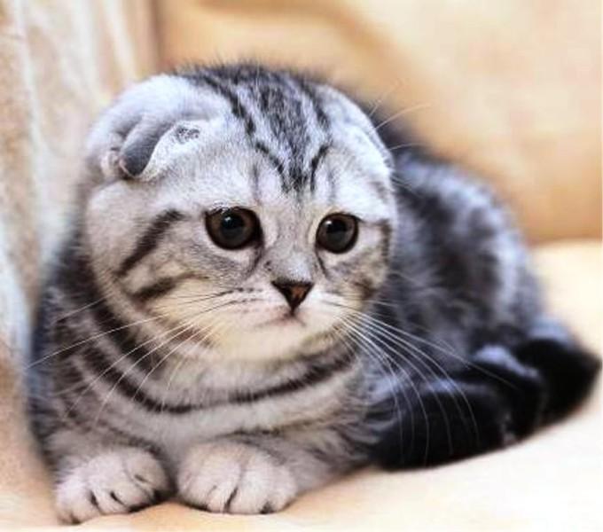 шотландская вислоухая кошка фото