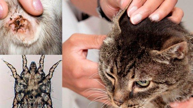 Клещ у кошек лечение в домашних условиях