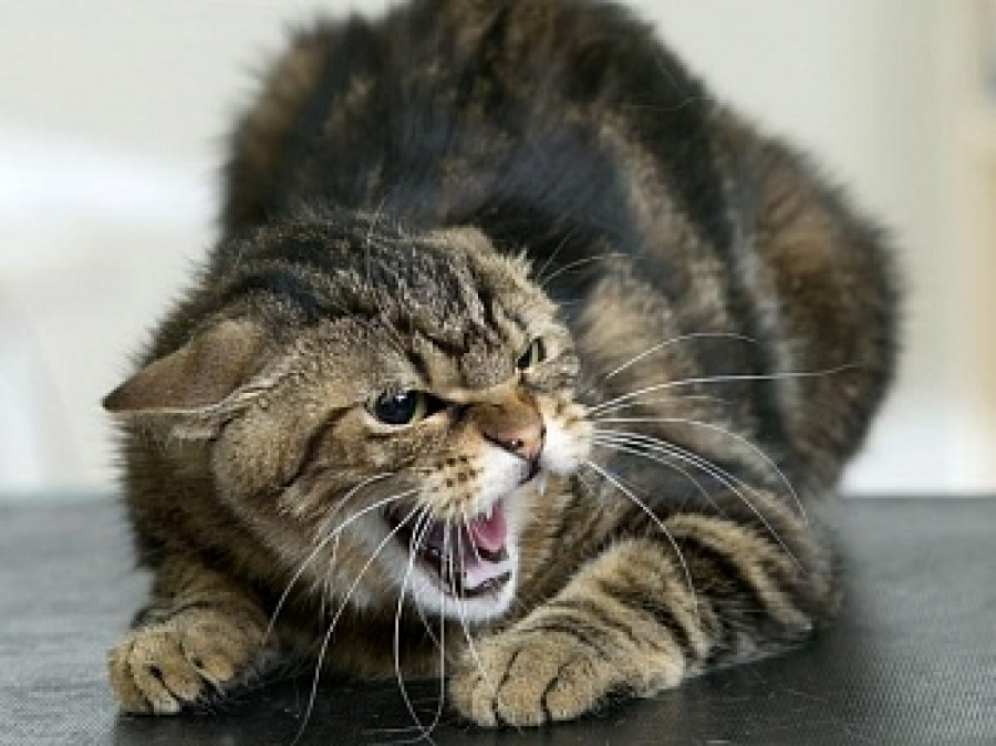 Сонник-толкование снов кота