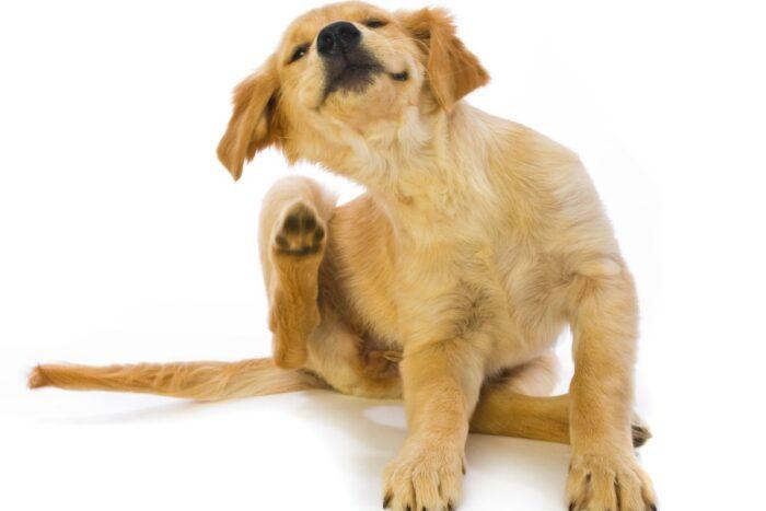 Как вывести блох у собак
