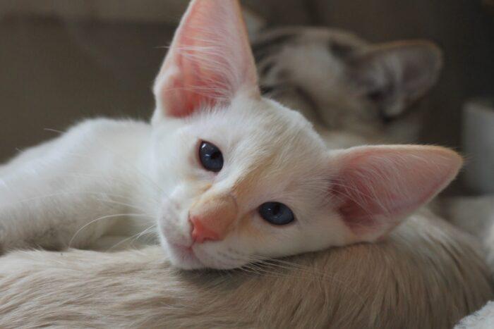 Яванез котенок
