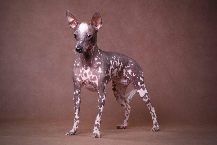 Перуанская собака
