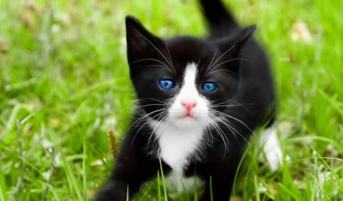 Котенок охос азулес