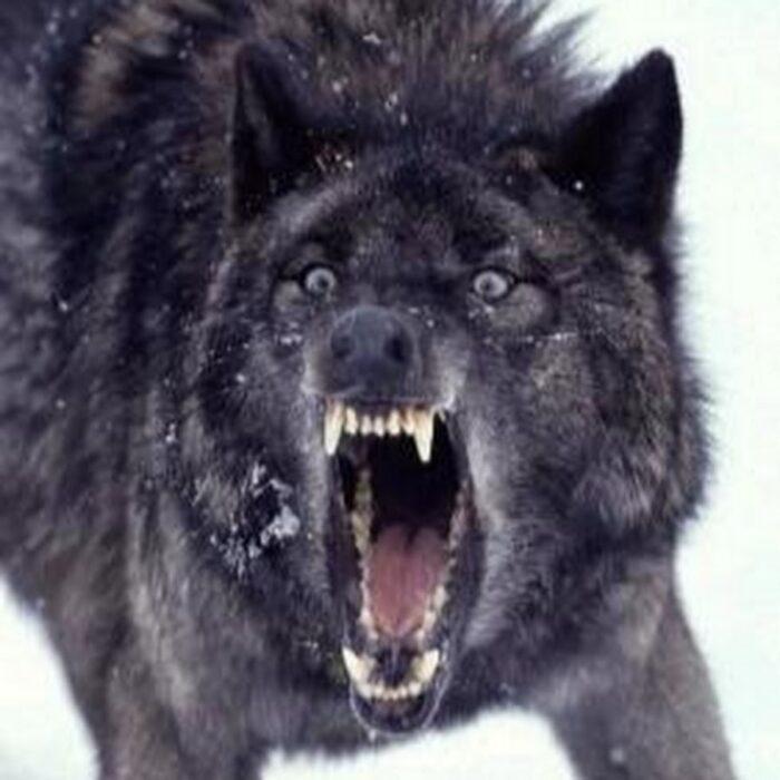 Гибрид волка