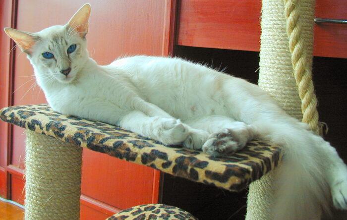 Яванский кот