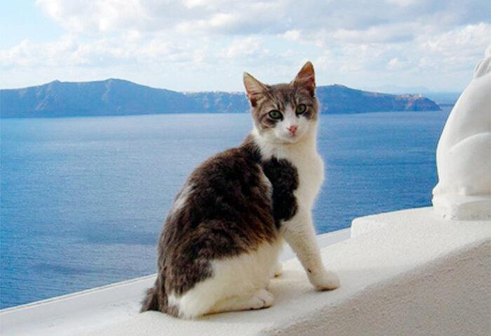 Уход за эгейской кошкой