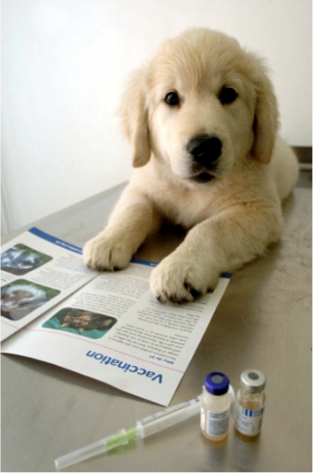 Вторая прививка собаке