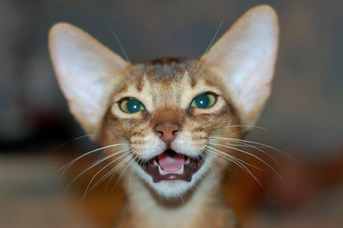 Зубы котят