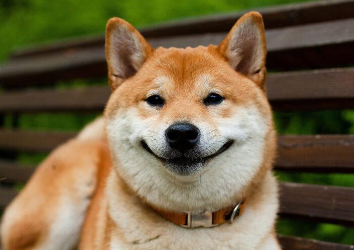 сиба-ину улыбается