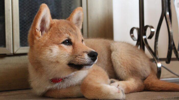 щенок сиба-ину фото