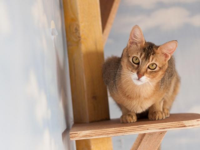 чаузи кошка фото цена в россии