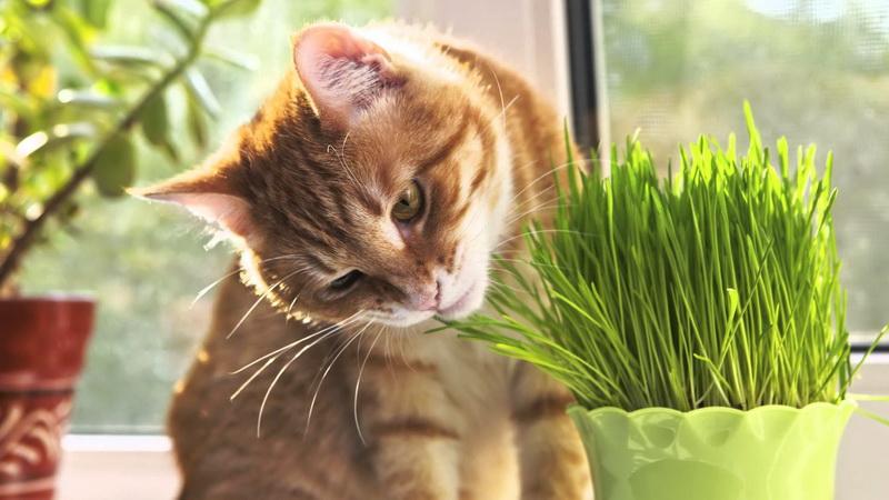 как посадить траву для кошек без земли