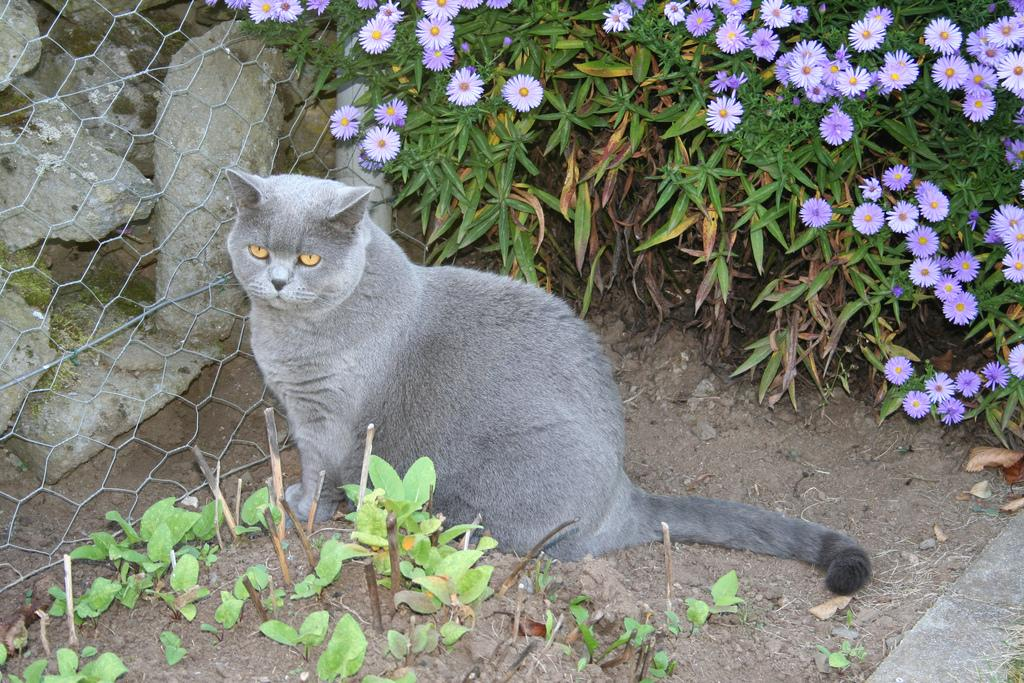 шартрез кошка описание