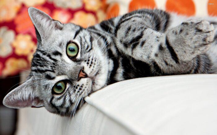 американская короткошерстная кошка фото