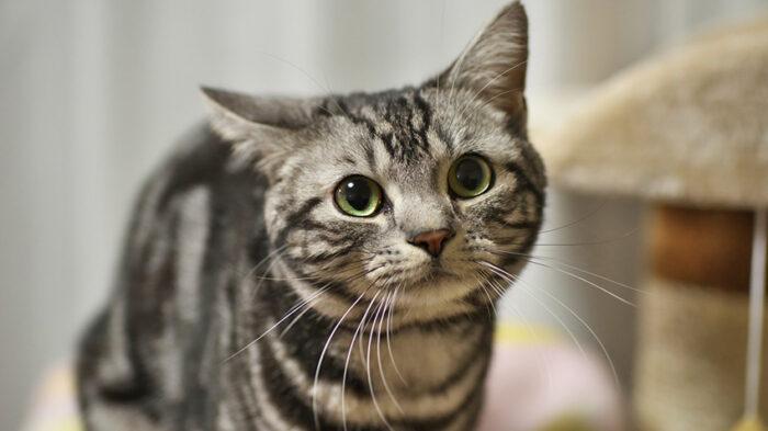 американская короткошерстная кошка фото цена
