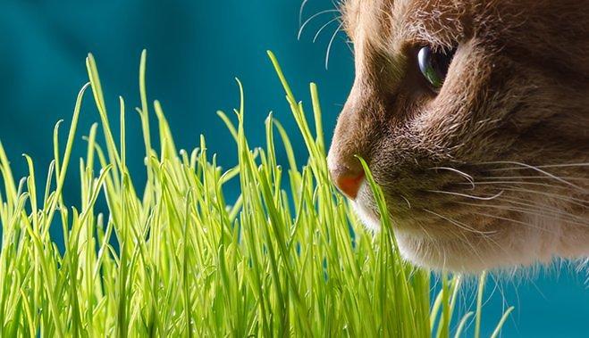 как посадить траву для кошек дома