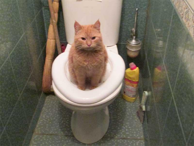 как научить кота ходить на унитаз