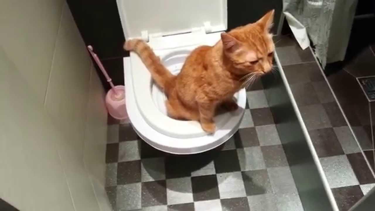 как приучить кошку к унитазу после лотка
