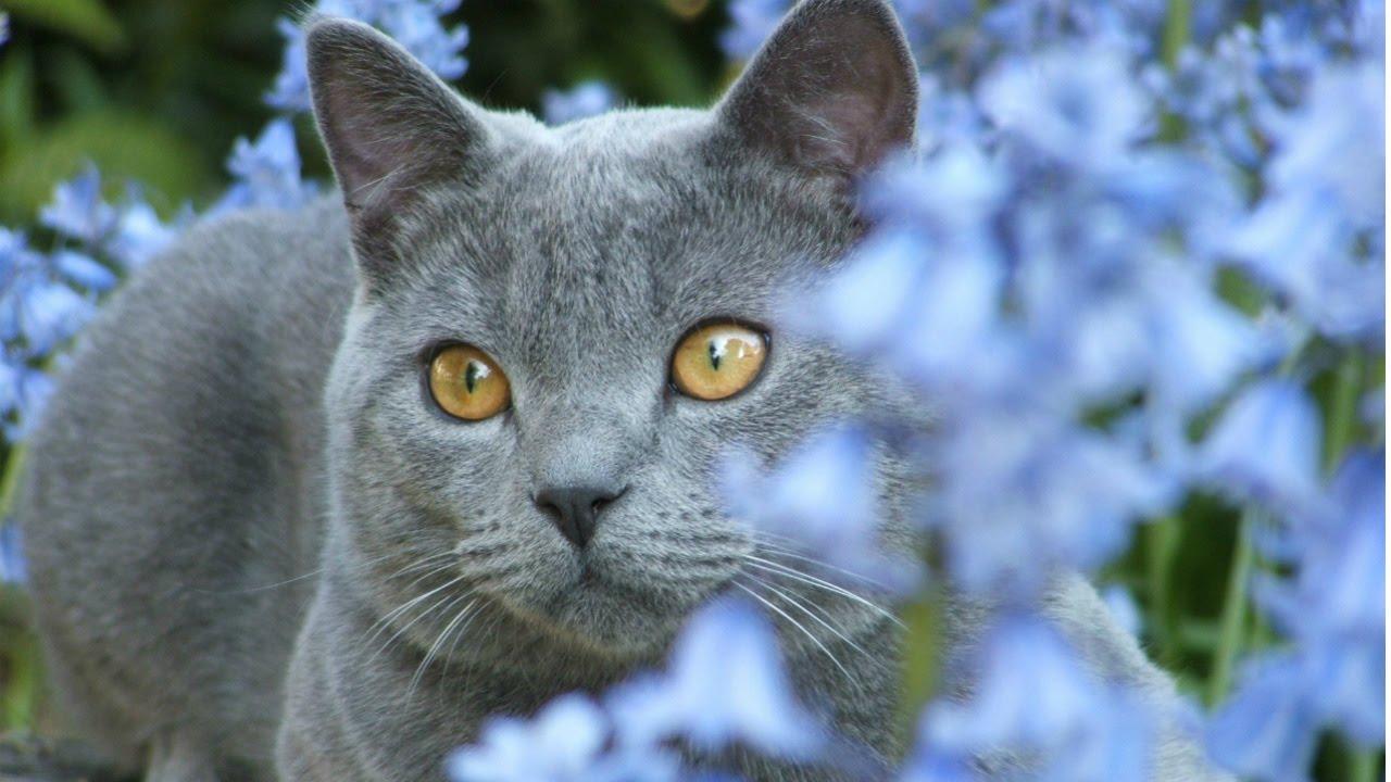 шартрез кошка фото