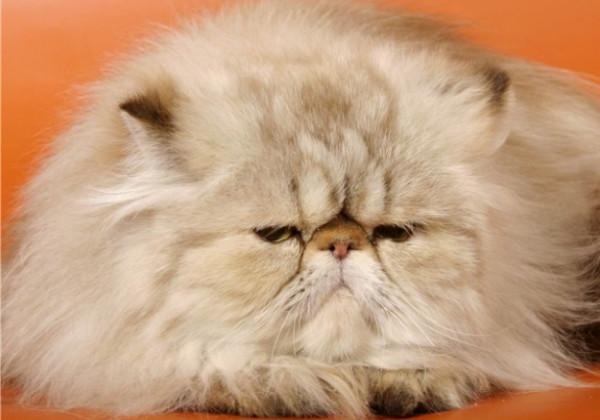 порода кошек с приплюснутой мордой