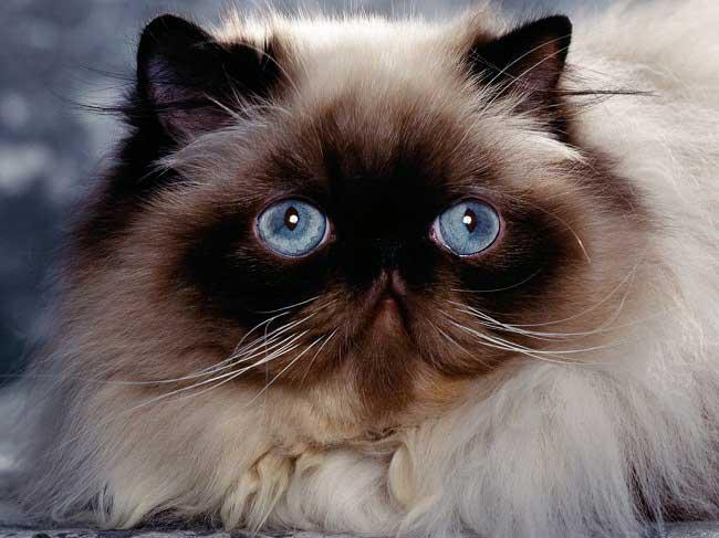 порода кошек с плоской мордой
