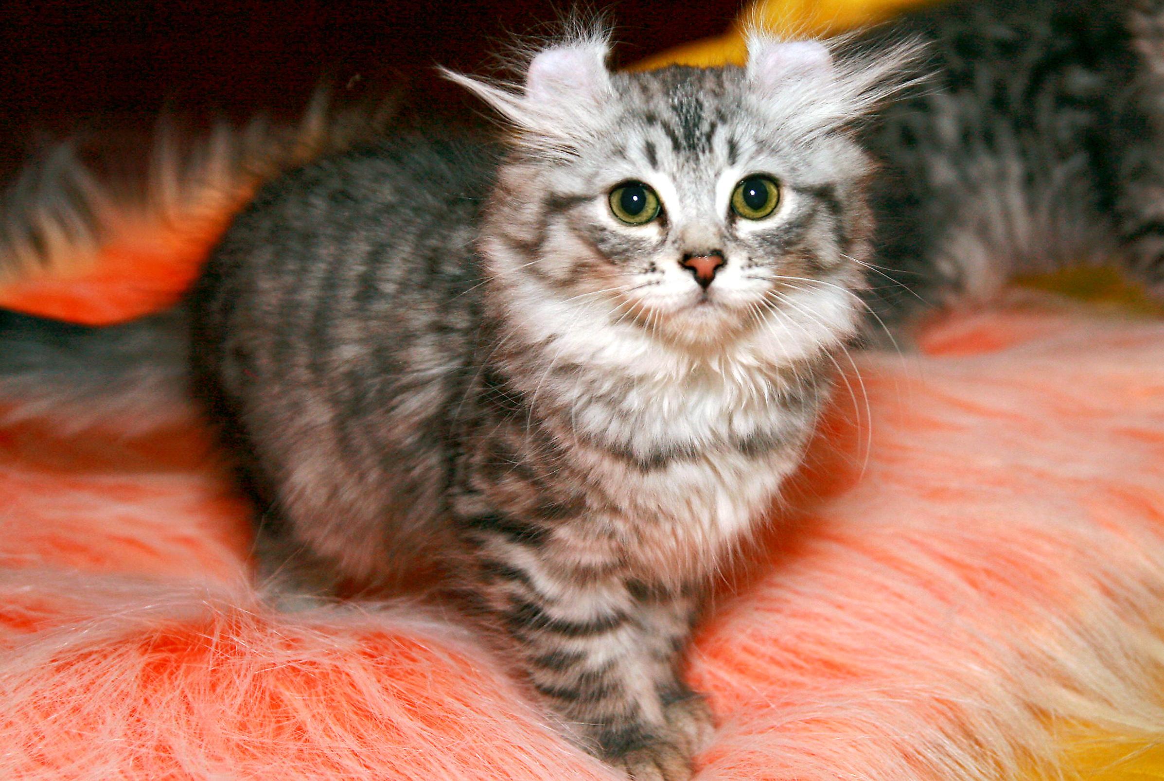 самые дорогие кошки в мире цена