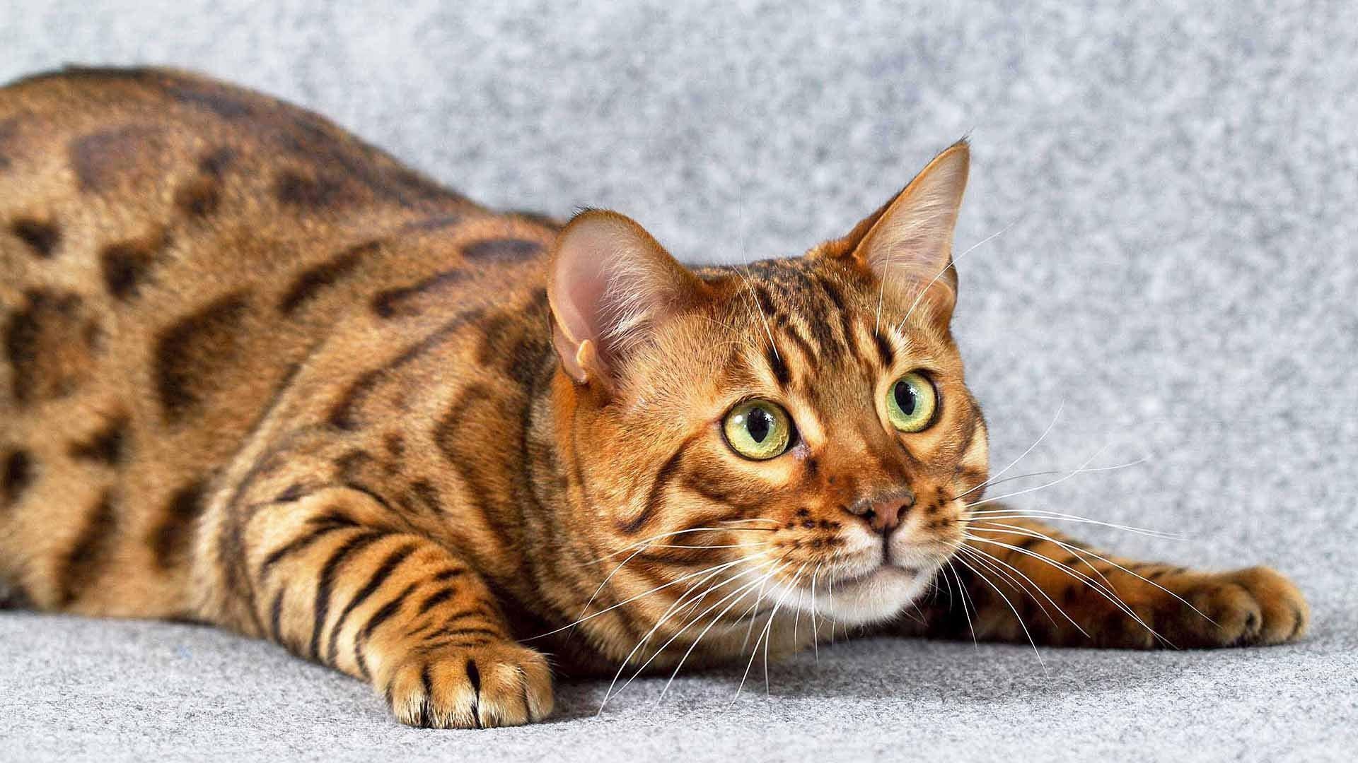 самый дорогой кот в мире цена