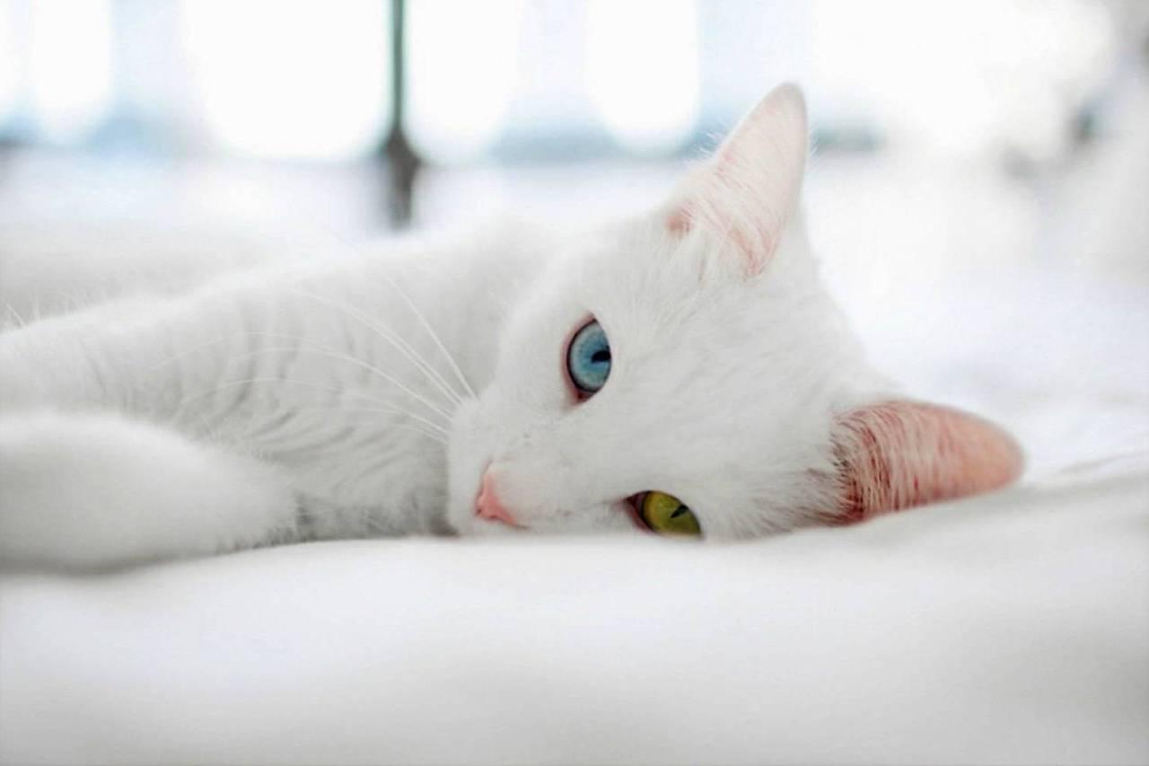 какая самая дорогая кошка в мире