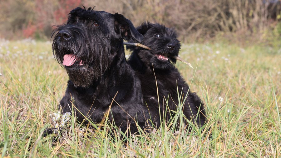 агрессивная собака ризеншнауцер