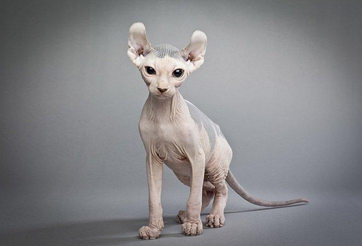 самый дорогой кот