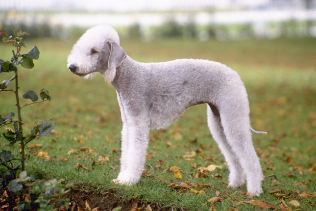 Бедлингтон-терьер страшный пёс