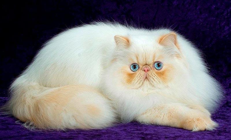 ласковая персидская кошка