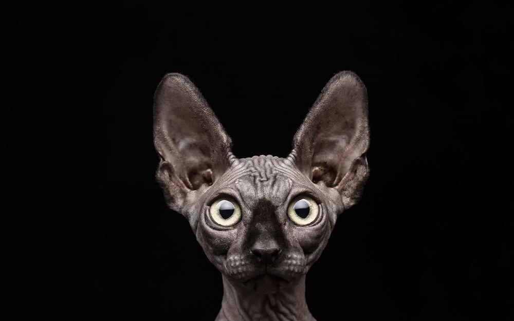 сфинкс ручная кошка