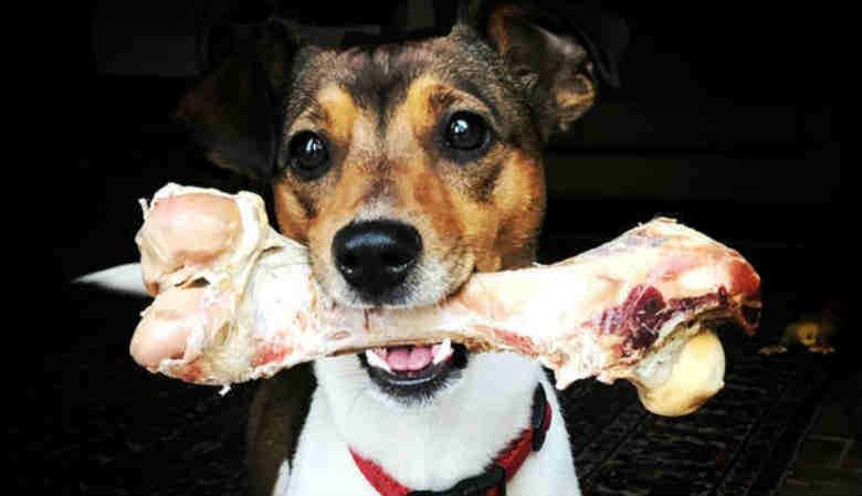 собака держит в зубах кость