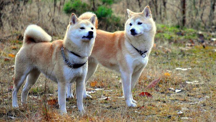 Уход за собакой Акита-ину