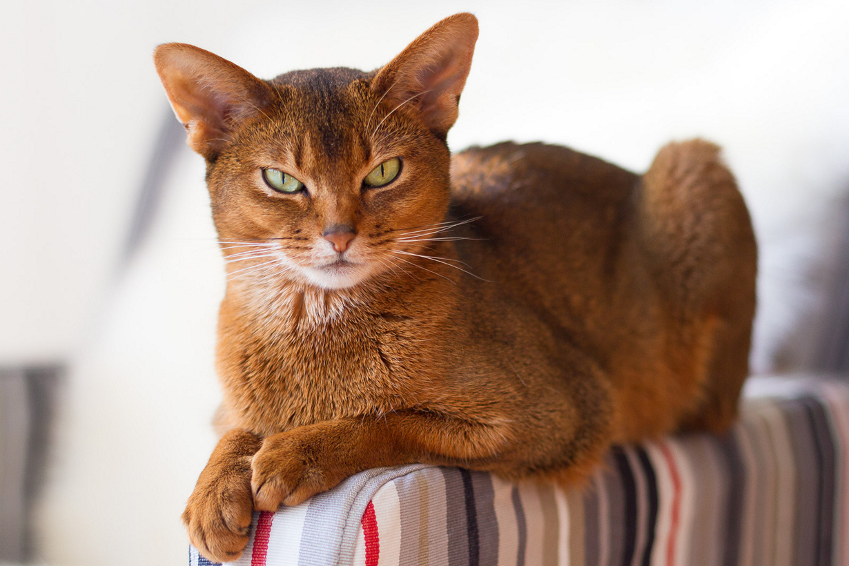 абиссинская кошка описание породы с фото