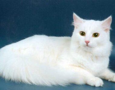 Ангорская кошка описание породы с фото