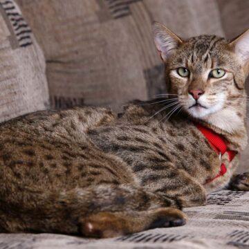 Ашера описание породы кошек с фото