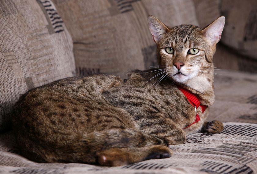 Ашера кошка. Описание, особенности, уход и цена кошки ашера